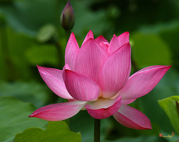Nature Photograph - Lotus--shades Of Past And Future Dl029 by Gerry Gantt