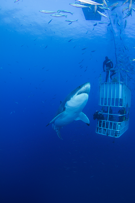 Male Great White With Cage, Guadalupe Photograph
