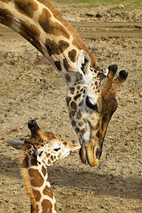 Mother Giraffe With Her Baby Photograph By Garry Gay