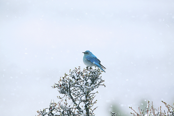 Mountain Bluebird In Snow Print by Pat Gaines