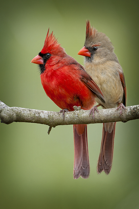 Mr. And Mrs. Northern Cardinal Photograph