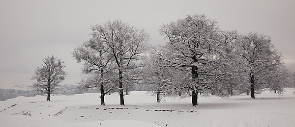 Winter Photograph - Oaks In Winter by Gabriela Insuratelu