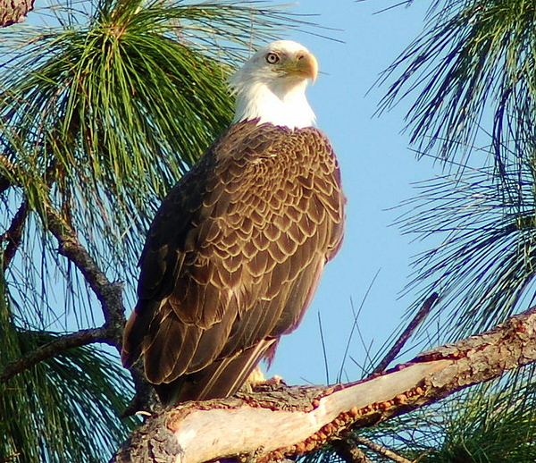 Florida Pyrography - Olympia Street Eagle by Sandy Poore