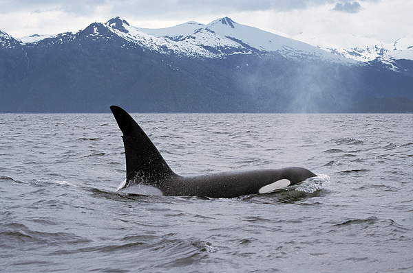 Mp Photograph - Orca Orcinus Orca Surfacing by Konrad Wothe