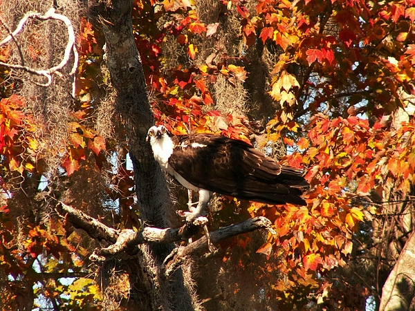 Osprey Photograph - Osprey In Fall by Theresa Willingham