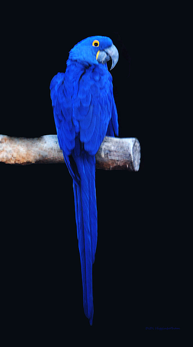 Macaw Photograph - Parrot Perfection by DiDi Higginbotham