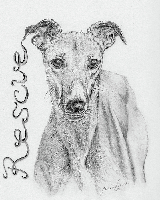 Dog Canine Greyhound Animal Pet Rescue Nature Drawing - Petunia by Teresa Vecere