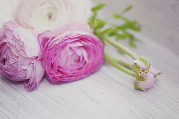 Horizontal Photograph - Pink Ranunculus Flowers On White Wooden Shelf by Isabelle Lafrance Photography