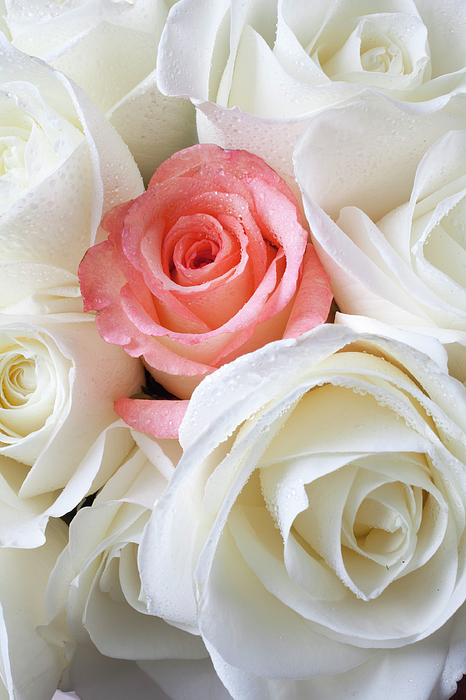 Pink Rose Among White Roses Photograph
