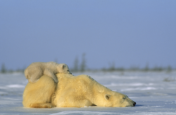 Canada Photograph - Polar Bear And Her Cub Resting by Norbert Rosing