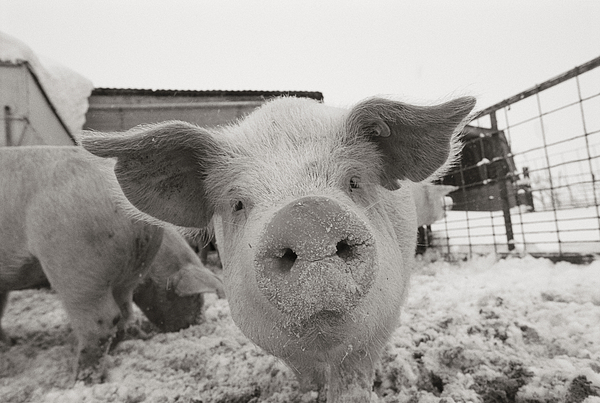 North America Photograph - Portrait Of A Young Pig. Property by Joel Sartore