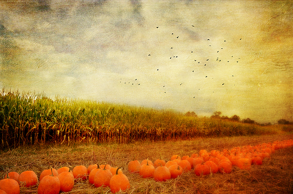 Pumpkins In The Corn Field Photograph