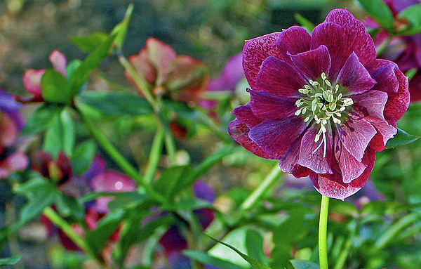 Purple Hellebore Print by Kami McKeon