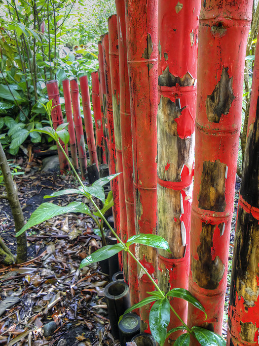 Bamboo Photograph - Red Bamboo by Dolly Sanchez