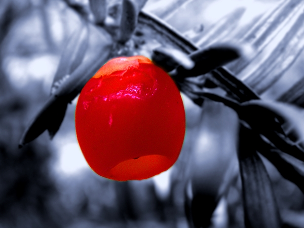 Flower Photograph - Red Bell by Roberto Alamino