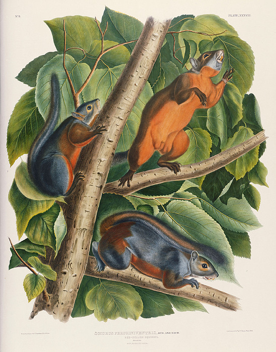 Red Bellied Squirrel Painting