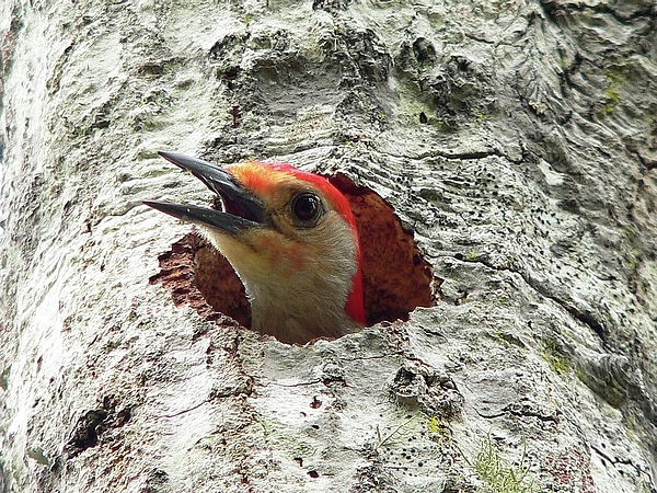 Red-bellied Woodpecker 02 Photograph