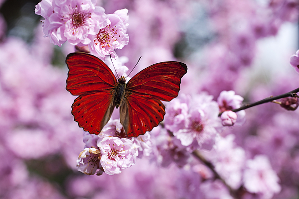 Red Butterfly On Plum  Blossom Branch Photograph