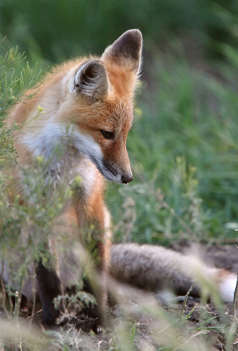 Red Fox Digital Art - Red Fox Pup Outside Its Den by Mark Duffy