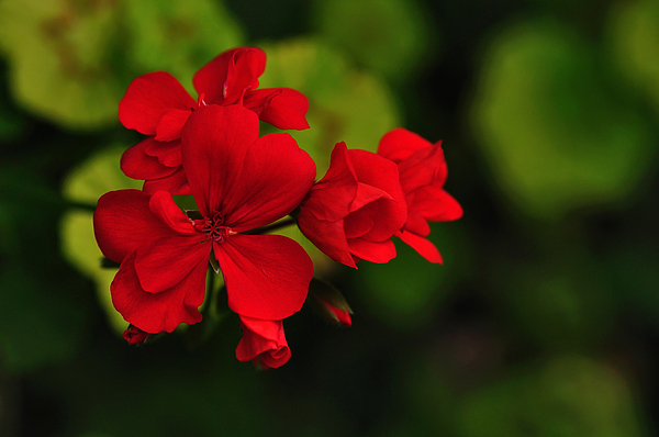 Red Geranium Photograph