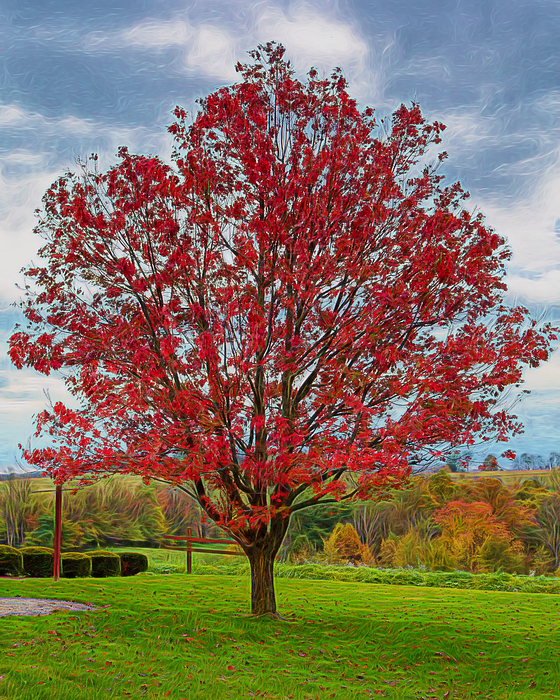 Red maple tree womens t shirt for sale by john m bailey for Maple trees for sale