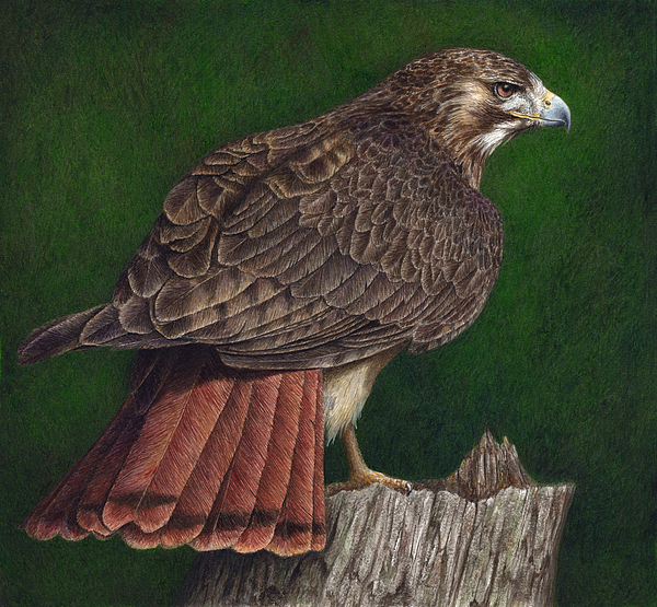 Red Tail Hawk Painting