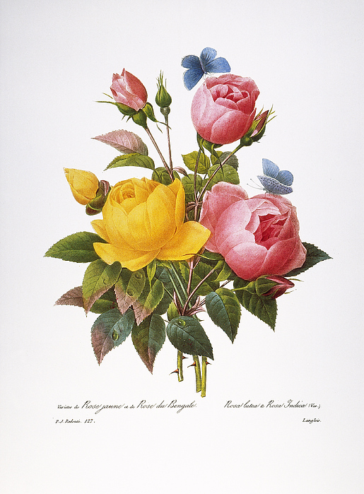 1833 Photograph - Redoute: Roses, 1833 by Granger
