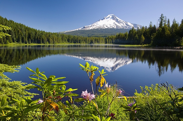 Reflection Of Mount Hood In Trillium Photograph