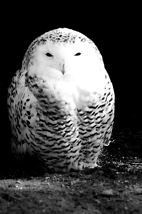 Black And White Photograph - Resting Snowy Owl by Darcy Michaelchuk