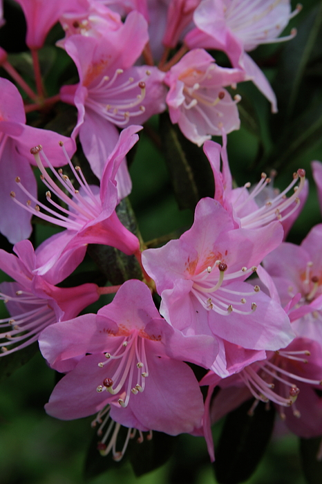 Rhododendron Photograph - Rhododendron In The Pink by Laddie Halupa