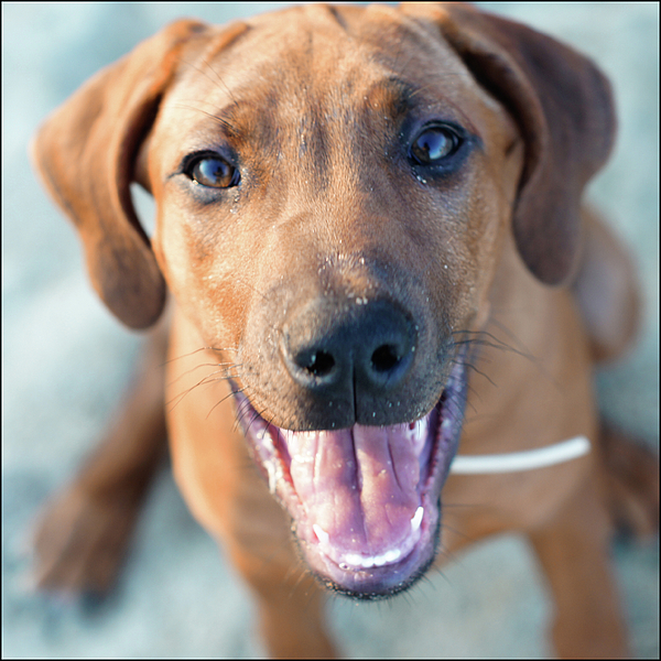 Square Photograph - Ridgeback Puppy by Maarten van de Voort Images & Photographs