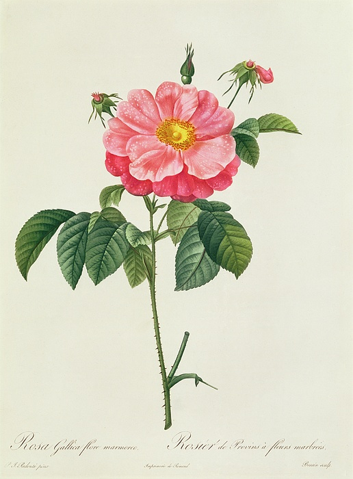 Rosa Drawing - Rosa Gallica Flore Marmoreo by Pierre Joseph Redoute