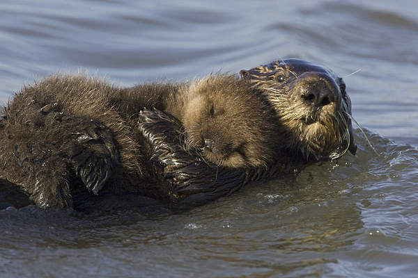 Sea Otter Mother With Pup Monterey Bay Photograph