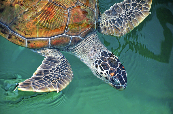Horizontal Photograph - Sea Turtle by Thank you.