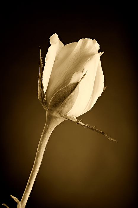 Rose Photograph - Sepia Rose Bud by M K  Miller