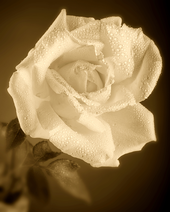 Sepia Rose With Rain Drops Photograph