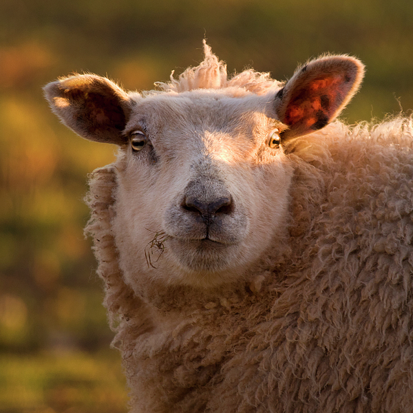 Sheep Photograph - Silly Face by Angel  Tarantella