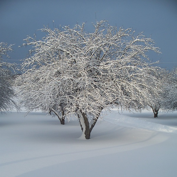 Apple Photograph - Snow-covered Apple Tree by Erica Carlson