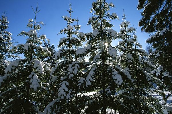 Natural Forces And Phenomena Photograph - Snow-covered Pine Trees by Taylor S. Kennedy