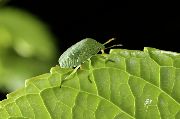 Animal Photograph - Southern Green Stink Bug Camouflaged On A Green Leaf by Sami Sarkis