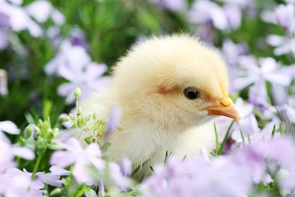 Chick Photograph - Spring Chick by Stephanie Frey