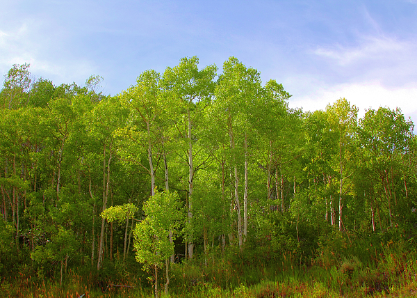 Stand Of Quaking Aspen Trees Photograph