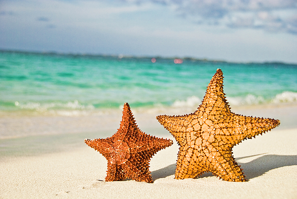 Horizontal Photograph - Starfish On Tropical Caribbean Beach by Mehmed Zelkovic
