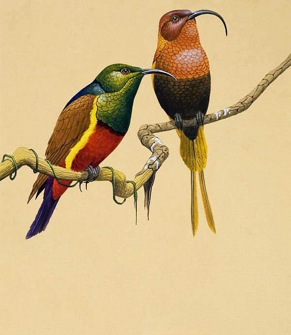 Bird; Tropical; Illustration; Colorful; Curved Beak; Exotic Painting - Sun Birds by English School