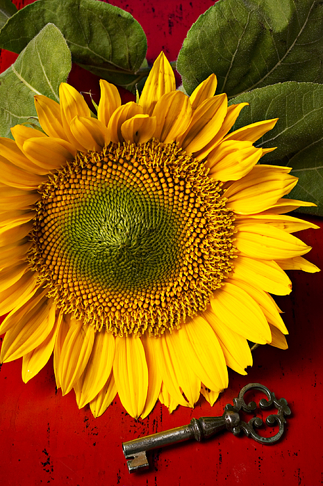Sunflower With Old Key Photograph