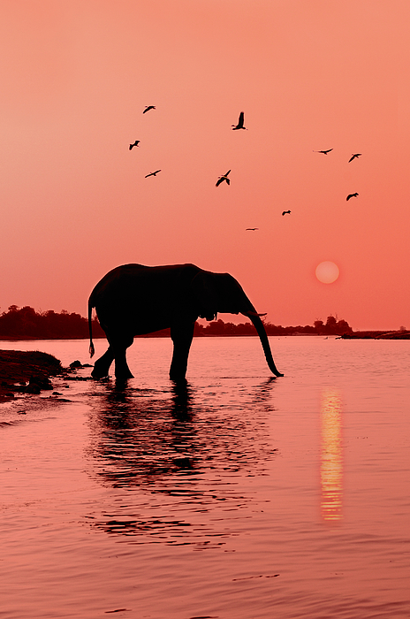 Sunset With Elephant Photograph