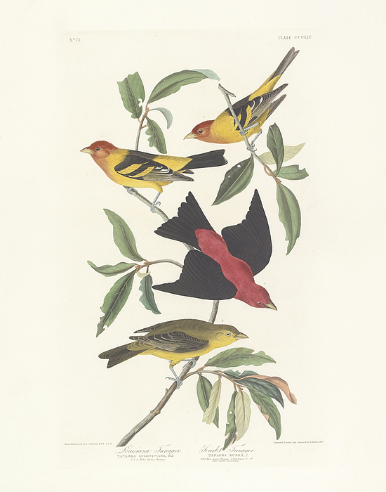 Tanagers Painting