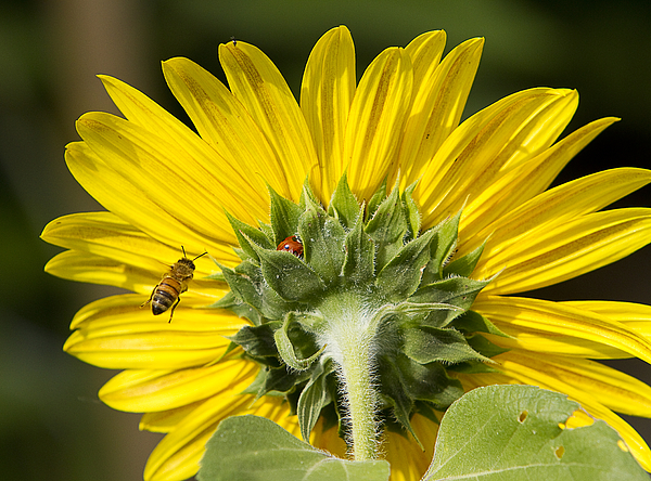 The Bee Lady Bug And Sunflower Photograph