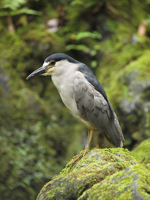 Black-crowned Night Heron Photograph - The Black Crowned Night Heron by Phil Stone