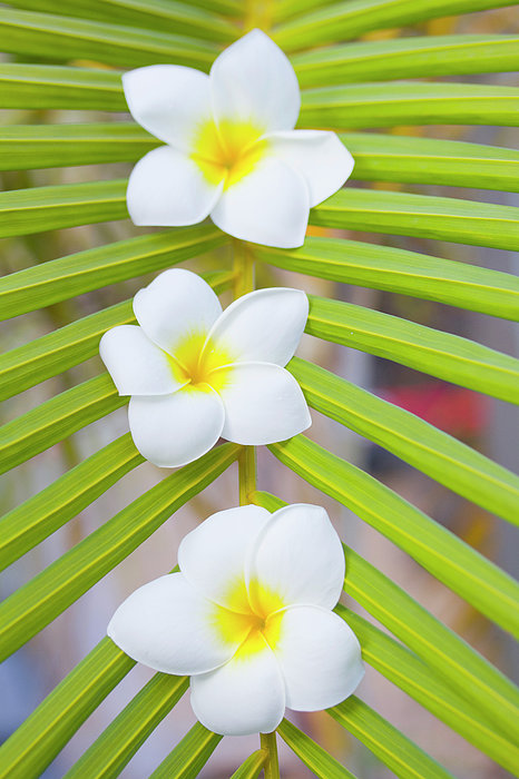 Vertical Photograph - Three Frangipanis by Laura Leyshon